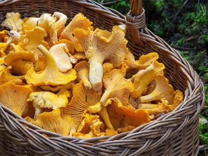 Augmentation des intoxications liées à la consommation de champignons : restez vigilants